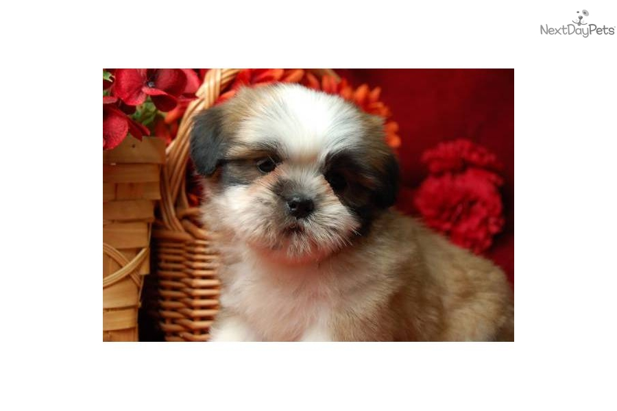 Shih Tzu Puppy For Sale Near Washington Dc 302de745 Fe41
