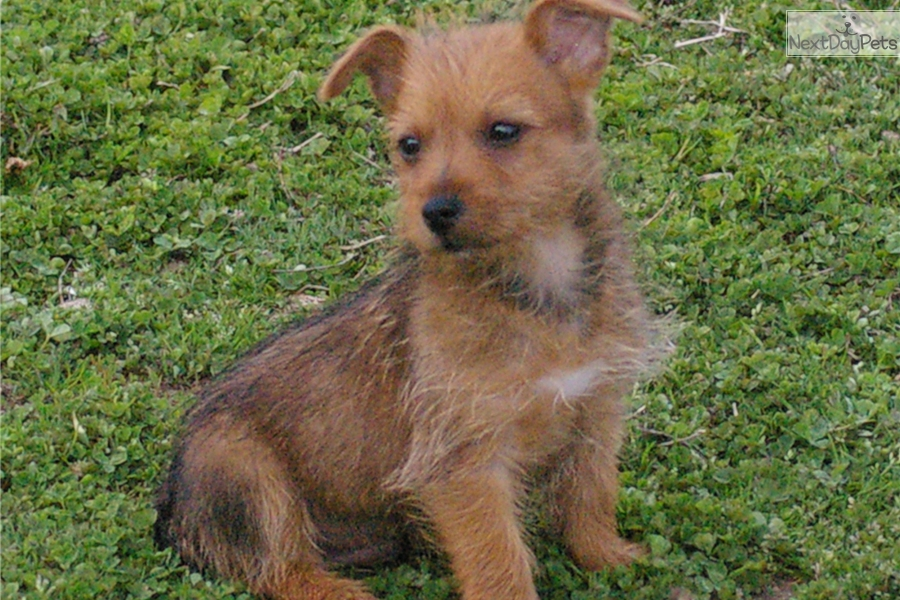 Matt Australian Terrier Puppy For Sale Near Fayetteville Arkansas