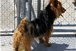 Picture of DJ, Blue and Tan Australian Terrier