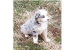 Miniature American Shepherd for sale
