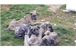Picture of Irish wolfhound female