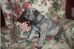 Picture of an Irish Wolfhound Puppy