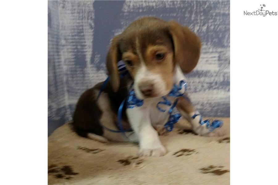 Tinker Beagle Puppy For Sale Near Battle Creek Michigan 28785694