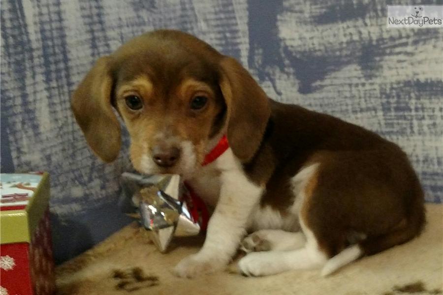 Tinker Beagle Puppy For Sale Near Battle Creek Michigan A53efbd2