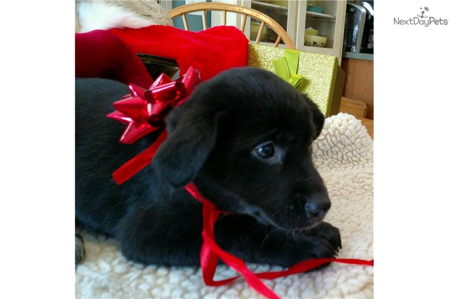Dancer: Border Collie puppy for sale near Battle Creek