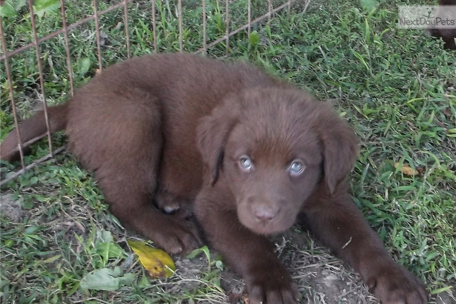 Liberty: Labrador Retriever puppy for sale near Battle Creek