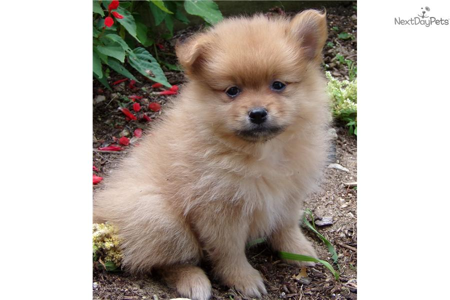 Meet Red Rover Registered a cute Pomeranian puppy for sale ...