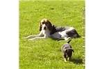 Picture of Dolby Coonhound mix  SEE VIDEO