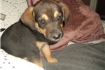 Picture of Rummer Girl  Coonhound mix  SEE VIDEO