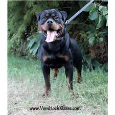 View full profile for Vom Hochklasse German Rottweilers Kennel
