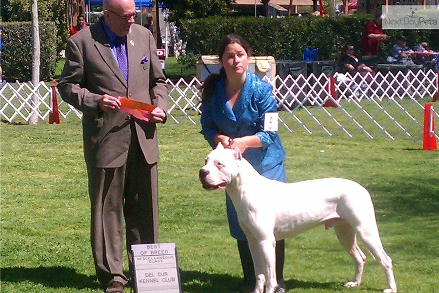 Argentine Dogo Puppy For Sale Near San Diego California