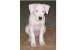 Picture of an Argentine Dogo Puppy