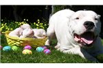 Picture of a Dogo Argentino Puppy