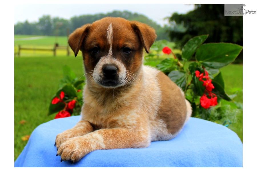 Toby Red Heeler Australian Cattle Dog Blue Heeler Puppy For Sale