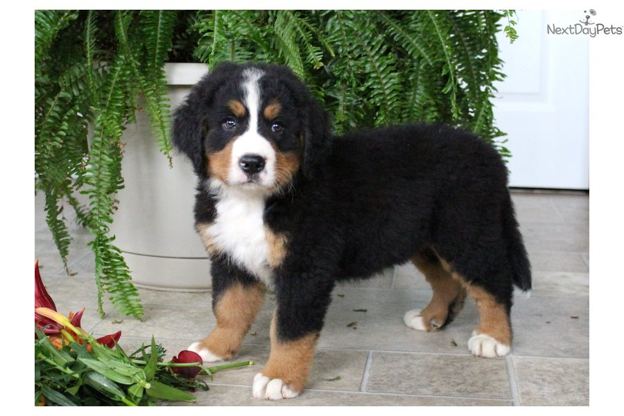 Bernese Mountain Dog Puppy For Sale Near Lancaster Pennsylvania