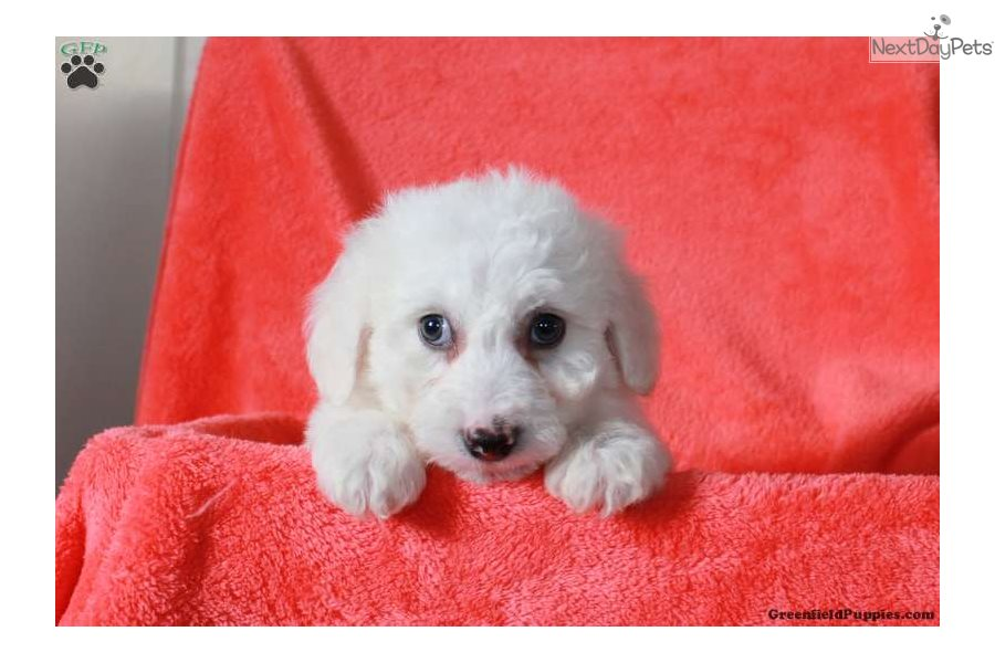 Bichon Frise puppy for sale near Lancaster, Pennsylvania