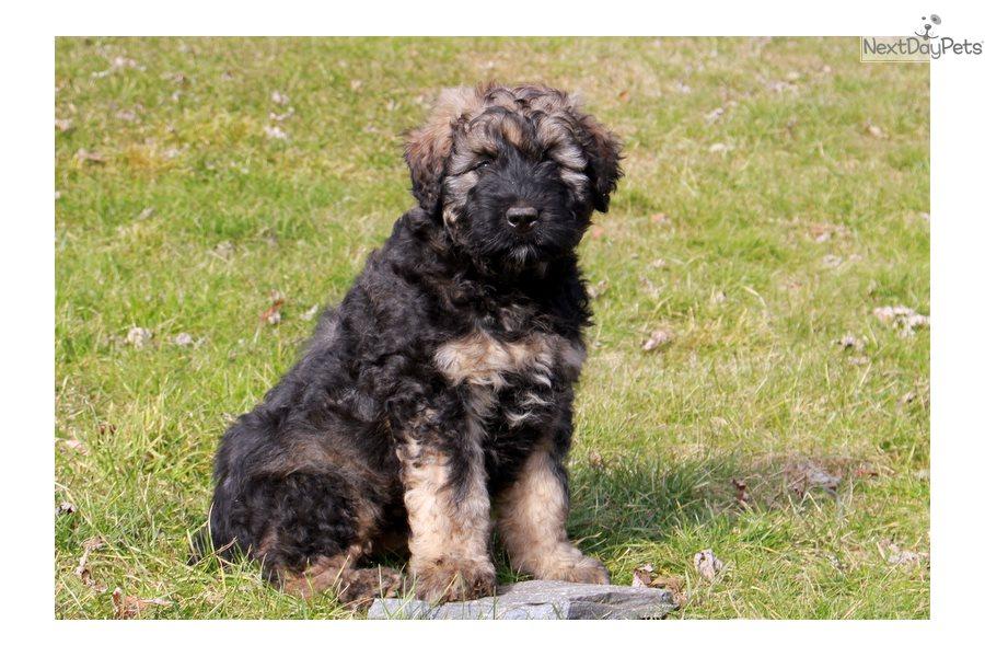 Bouvier Des Flandres Puppy For Sale Near Lancaster Pennsylvania