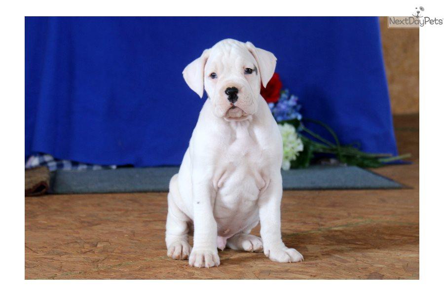 Boxer Puppy For Sale Near Lancaster Pennsylvania A0e894a4 02e1
