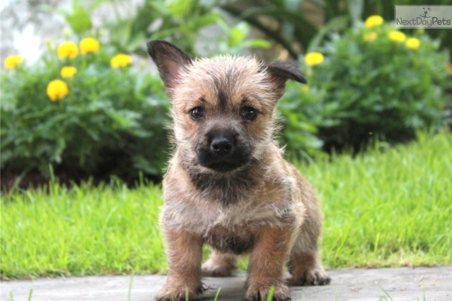 Cairn Terrier puppy for sale near Lancaster, Pennsylvania | 22a254c0