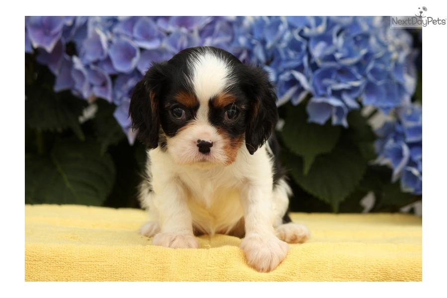 Geneva Cavalier King Charles Spaniel Puppy For Sale Near Lancaster