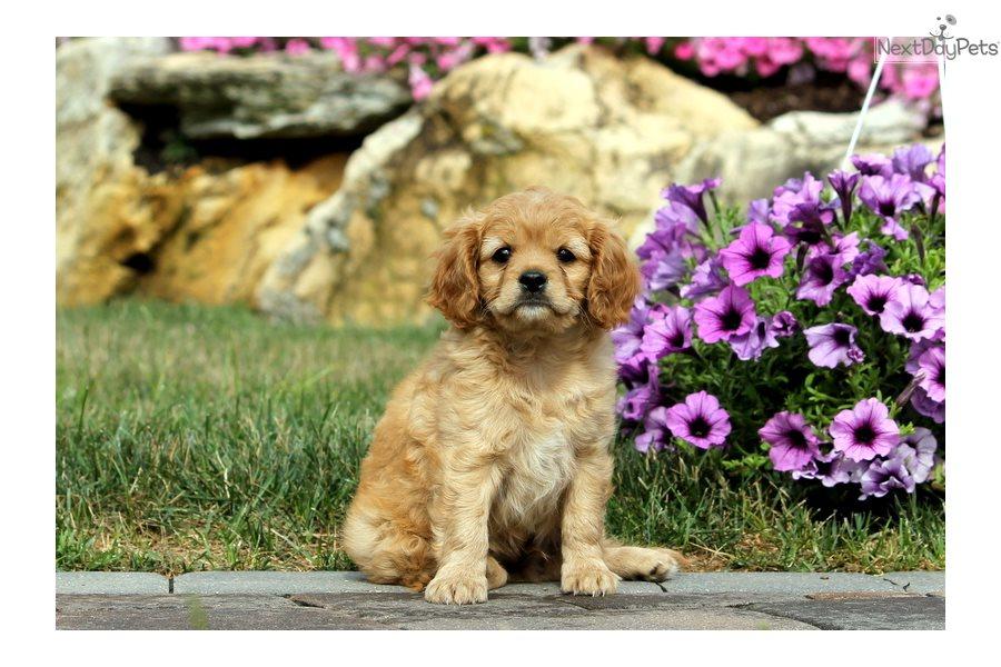 Cavapoo puppy for sale near Idaho USA