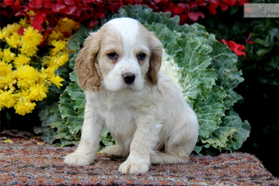 cocker spaniel for sale near me cocker spaniel puppy for sale near lancaster pennsylvania 7369