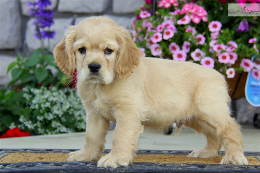 cocker spaniel for sale near me cocker spaniel puppy for sale near lancaster pennsylvania 4225