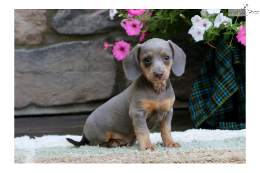 Dachshund Puppy For Sale Near Lancaster Pennsylvania F90dc2d6 9d91