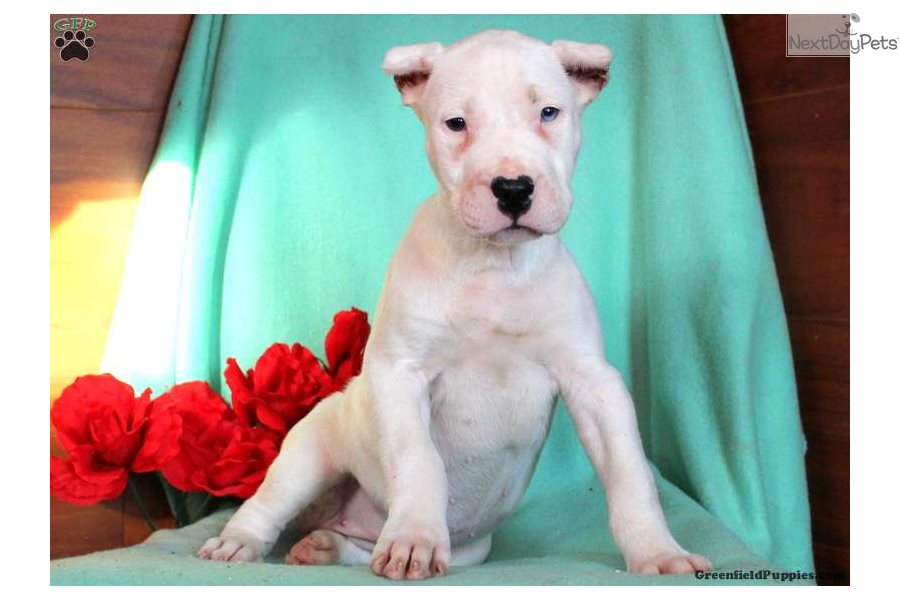 Dogo Argentino puppy for sale near Lancaster, Pennsylvania
