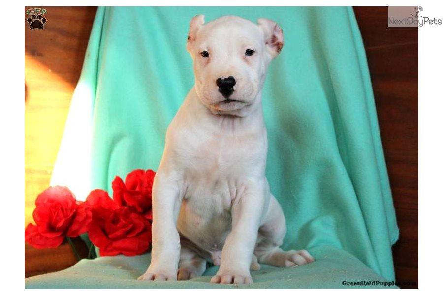 Dogo Argentino puppy for sale near Lancaster, Pennsylvania