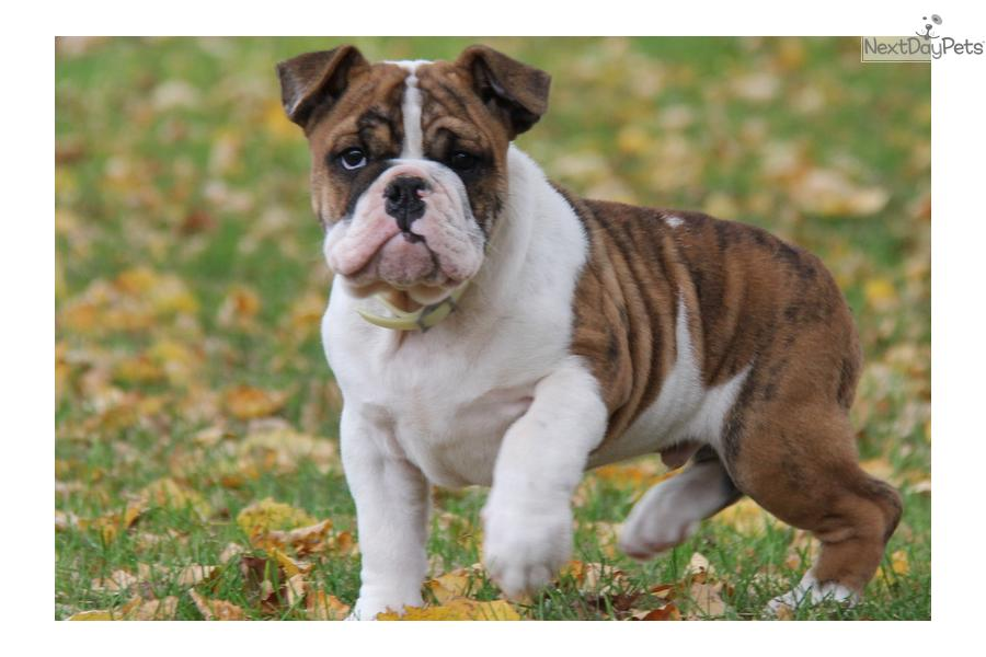 brown english bulldog puppies dogs and puppies for sale and adoption oodle marketplace 2460