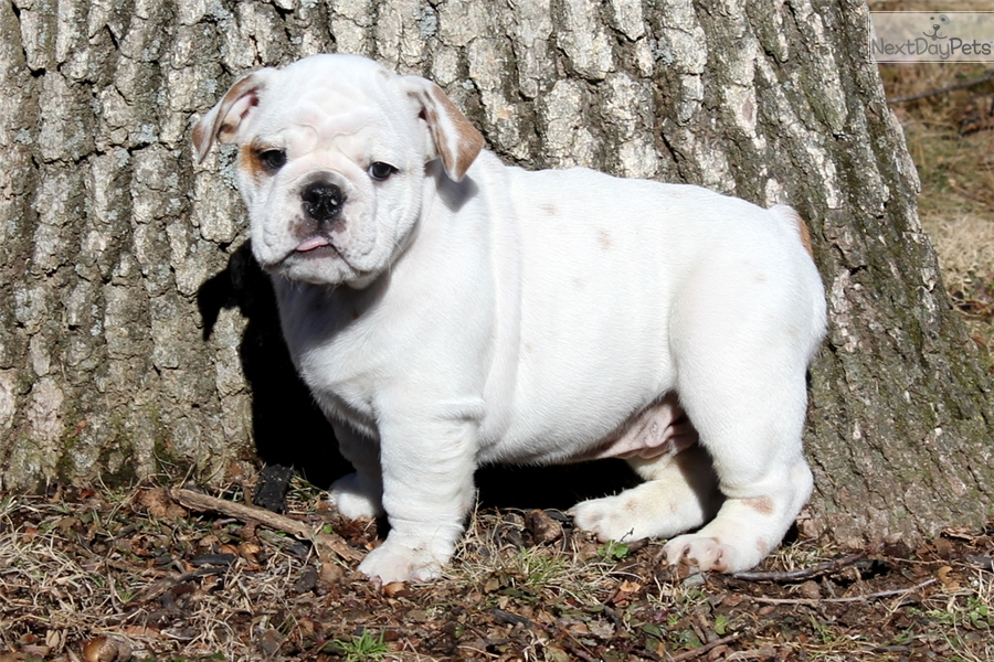 Adam English Bulldog Puppy For Sale Near Lancaster Pennsylvania