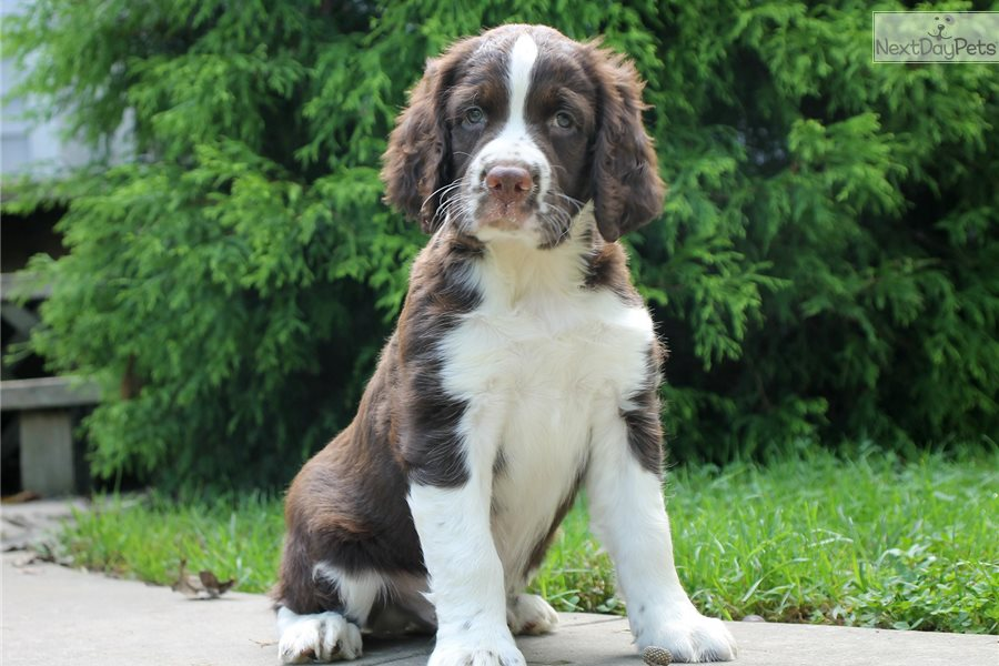 English Springer Spaniel Show Dogs For Sale
