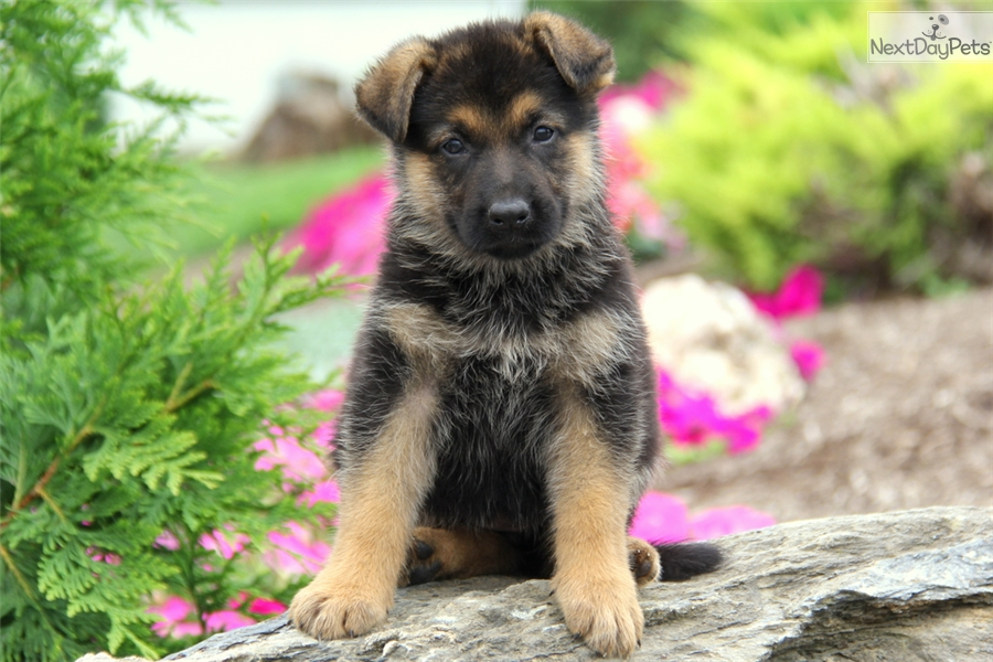german shepherd puppies for sale in south dakota dakota german shepherd puppy for sale near lancaster 1904