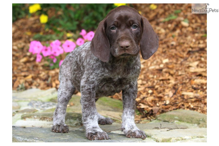 German Shorthaired Pointer Puppy For Sale Near Lancaster