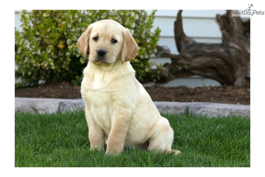 Finley Goldador Puppy For Sale Near Lancaster Pennsylvania 917e7a21 5fb1
