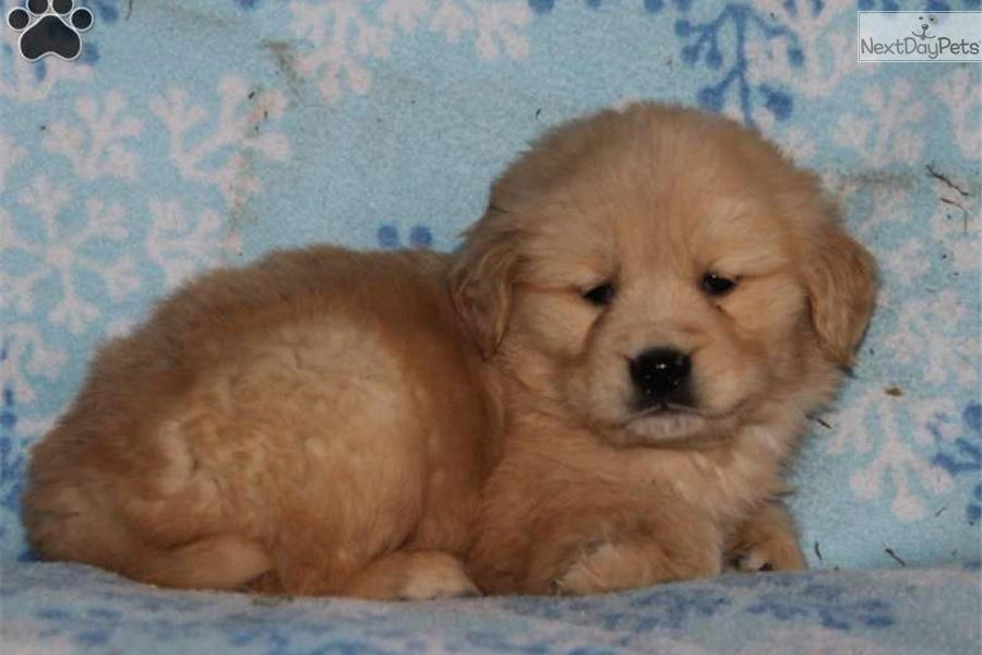 Lyle / Golden Retriever | Golden Retriever puppy for sale ...