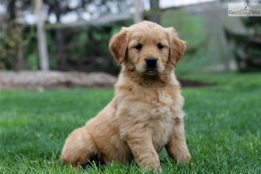 Golden retriever adoption near me