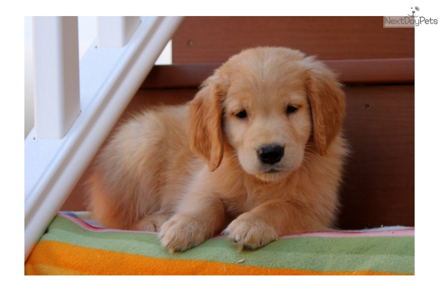 Golden retriever adoption near me