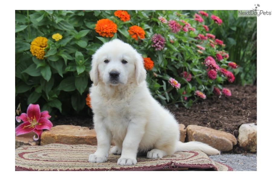 silver golden retriever silver golden retriever puppy for sale near lancaster 1168