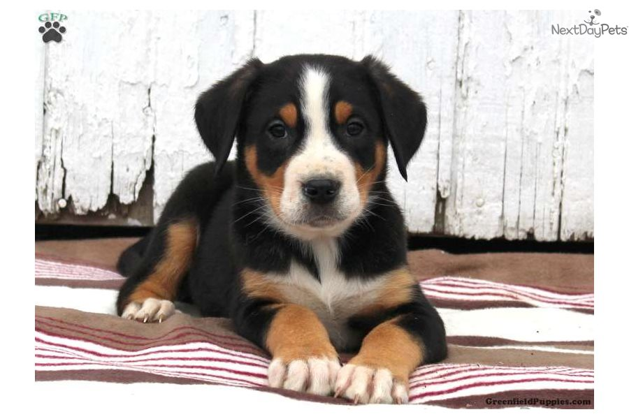 Greater Swiss Mountain Dog Puppy For Sale Near Lancaster