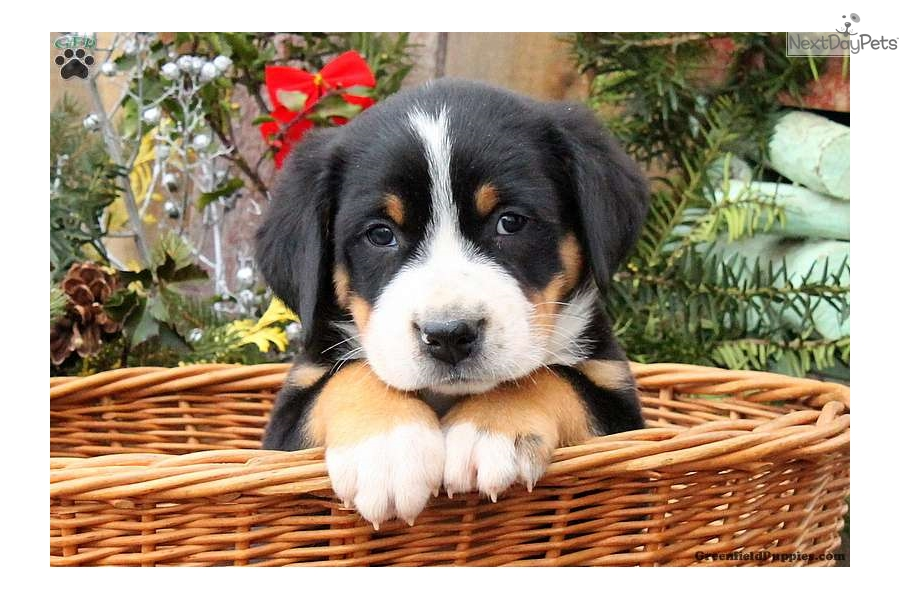 Ringo Greater Swiss Mountain Dog Puppy For Sale Near