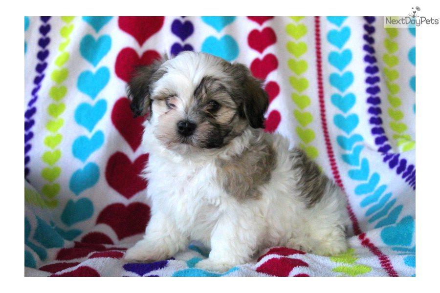 Havanese puppy for sale near Lancaster, Pennsylvania ...