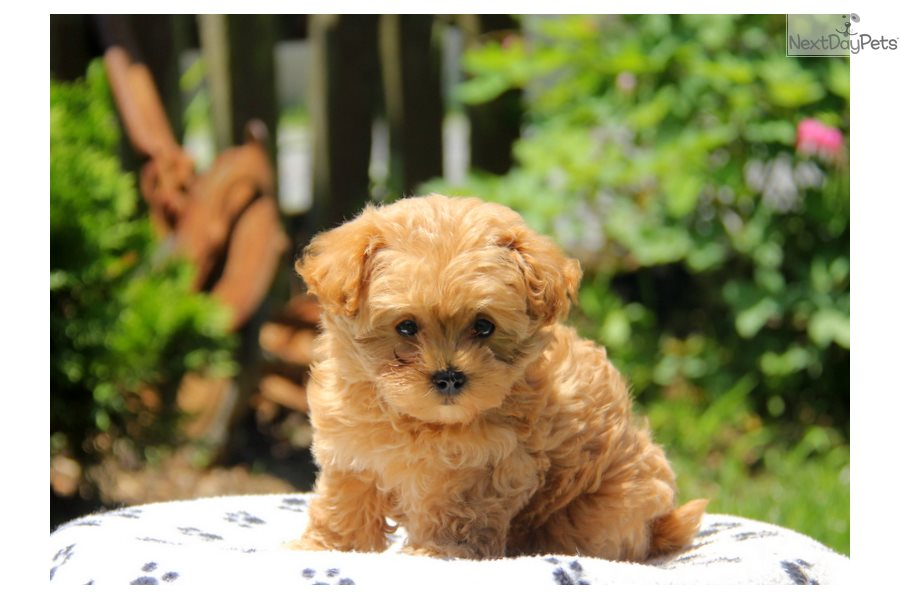 Havapoo puppy for sale near Lancaster, Pennsylvania