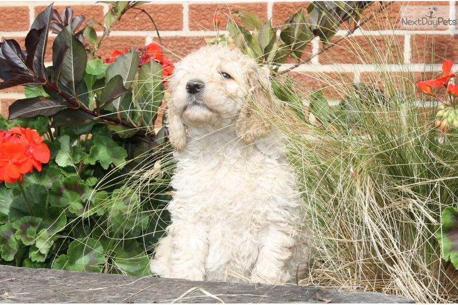 Picture of an Irishdoodle
