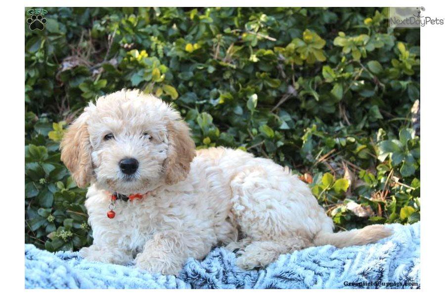 Labradoodle Puppy For Sale Near Lancaster Pennsylvania