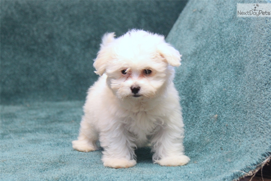maltese puppies near me maltese puppy for sale near lancaster pennsylvania 2985