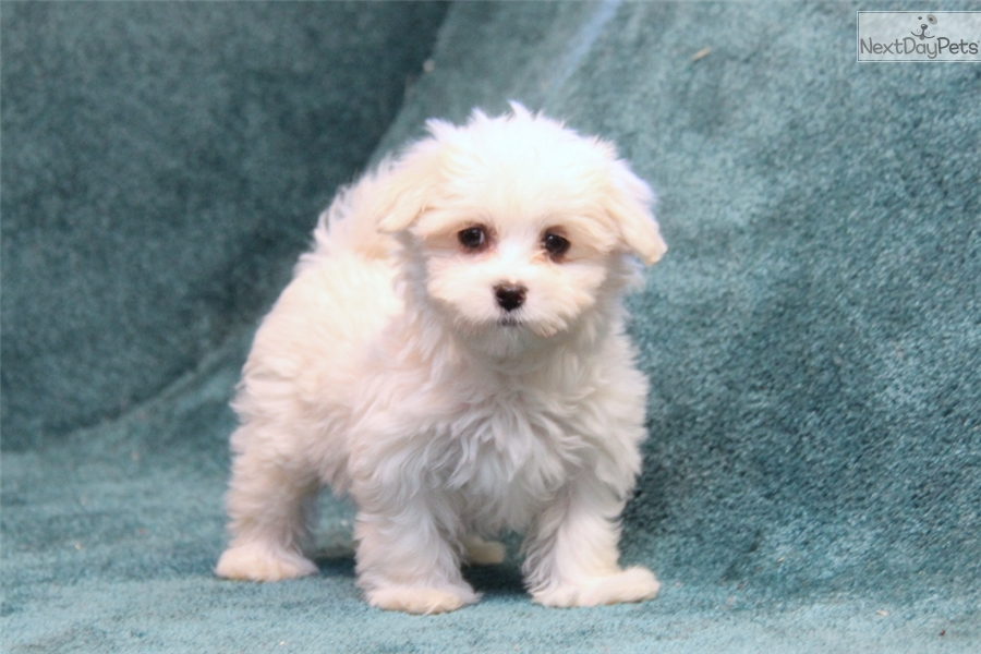 maltese puppies for adoption near me maltese puppy for sale near lancaster pennsylvania 8507