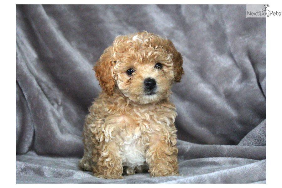 Malti Poo - Maltipoo puppy for sale near Pennsylvania USA