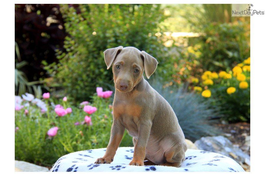 Miniature Pinscher Puppy For Sale Near Lancaster Pennsylvania